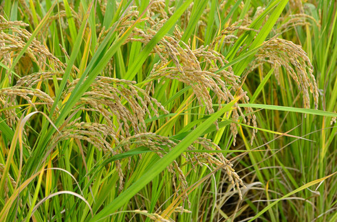田植えの次は稲刈りです。小学生の稲刈り体験